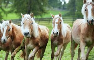 Valle Intelvi : i cavalli del Bisbino